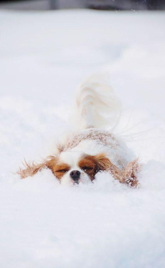 Cavalier King Charles Spaniel als kleiner Schneeschieber - hier bahnt sich jemand den Weg.