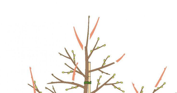 Obstbäume, die als Spindel gezogen sind, bleiben klein und tragen früh Früchte. Damit das so bleibt, müssen sie regelmäßig geschnitten werden.