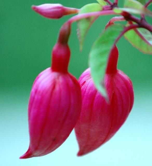 Fuschia from Magenta: Fuchsia, Mulberry, Raspberry, Rhododendron