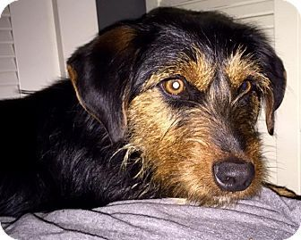Lisbon, IA - Wirehaired Pointing Griffon/Beagle Mix. Meet Baxter, a dog for adoption. http://www.adoptapet.com/pet/14963325-lisbon-iowa-wirehaired-pointing-griffon-mix
