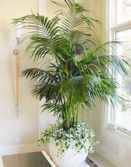 Cây cau Hawai tên khoa học là Chamaedorea elegans. Cây cao trung bình 1.2m-2m. Cây có nguồn gốc từ Mêhicô ( châu Mỹ). Cây mọc bụi, nhỏ, thấp, cao nhất khoảng 3m. Thân tròn màu xanh có đốt thưa, đều đặn. Lá kép lông chim ở đỉnh, lá phụ nhỏ như lá tre. Cụm hoa ở các đốt già sát đất, màu vàng. Quả hình cầu.  Là loài chịu bóng tốt, vì thế cau Hawai khi vào chậu có thể chưng bày được ở tất cả mọi góc trong nhà. Liên hệ 0966.709228