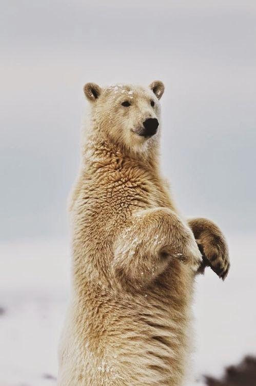 polar bear #WOWanimals #WOWparksandzoos