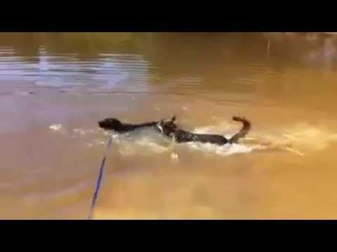 SWIMMING IN OUR DAM! - Melbourne Dog Boarding Kennels   Badgercreek Dog Boarding Kennels and Cattery   Melbourne Dog Boarding Kennels   Badgercreek Dog Boarding Kennels and Cattery