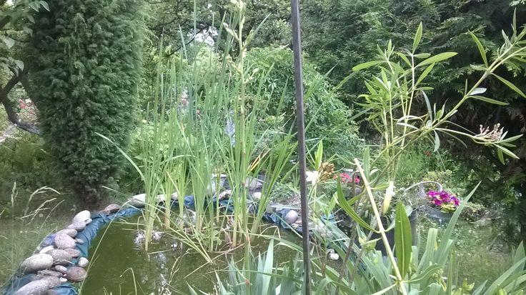 Oleander i juka nad oczkiem wodnym.