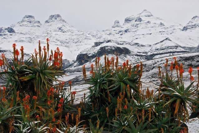 Drakensberg today. 25 July 2016. I love the aloes in bloom in the foreground while the mountains are covered in snow.