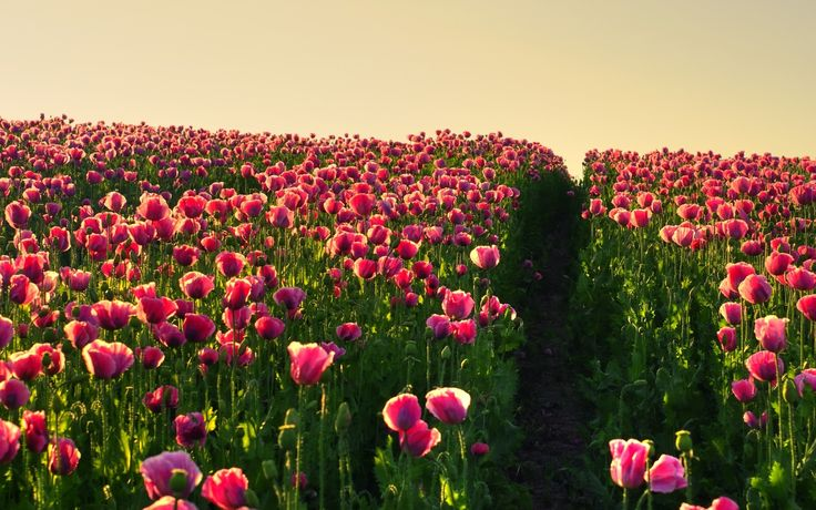 Tulip Field Backgrounds wallpaper