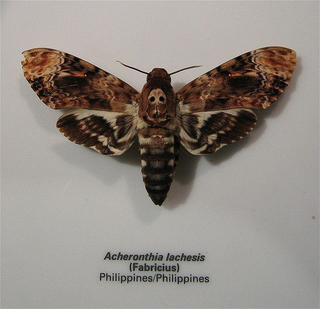 Death's Head Moth... a moth with a skull on it's back