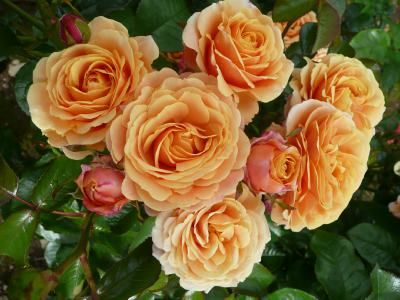 CHARTERED (Diclingo) 2012              £7.50  Shapely medium size blooms of coral, salmon, tangerine and lemon blend, growing on long and straight stems. Ideal for cutting.  It is exclusive to our catalogue and it was named by the Chartered Institute of Insurance to celebrate their 100th anniversary.