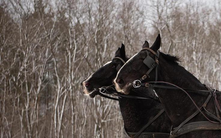 Two Oldenburg black mares have so beautiful hair in Winter - Hotel & Resort SPA Termy Medical WARMIA PARK in Poland (Warmia and Masuria, Pluski near Olsztyn)