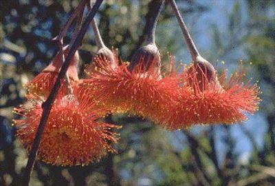 Eucalyptus caesia subsp. magna • Australian Native Plants • Plants • 800.701.6517