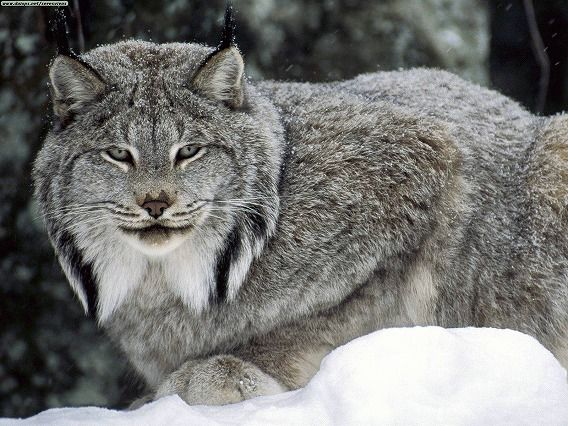 Lynx canadensis. In fact, it is a cat.