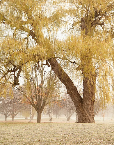 how to start a willow tree from a cutting