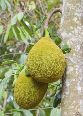 How to Grow Jackfruit From Seeds. I would love my own tree, I'm obsessed with this fruit!