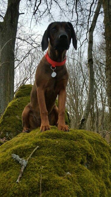 Ambros BGS Bayerischer Gebirgsschweißhund