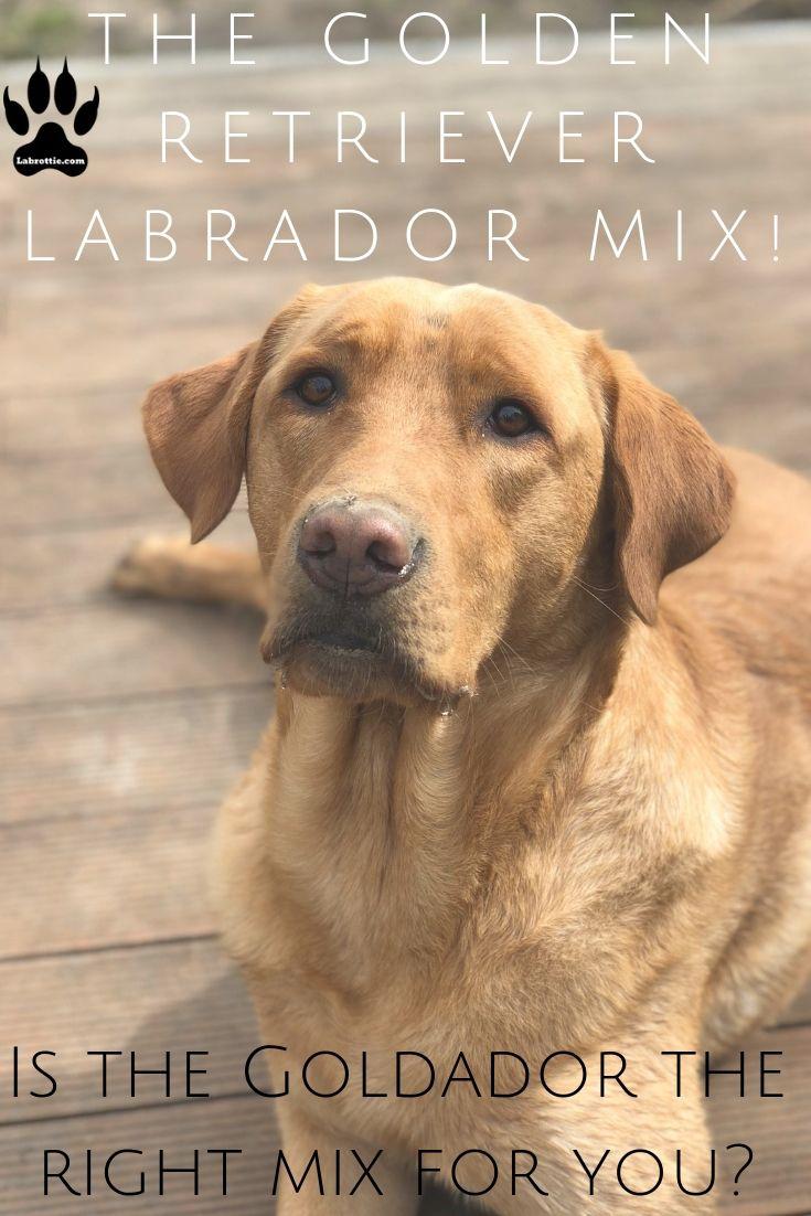 Goldador A Golden Retriever Labrador Mix Labrottie Com