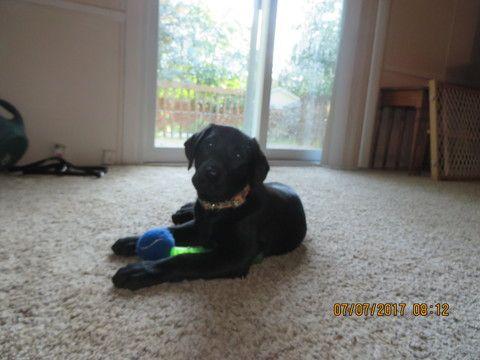 Labrador Retriever puppy for sale in CHARLOTTE, MI. ADN-36524 on PuppyFinder.com Gender: Female. Age: 11 Weeks Old