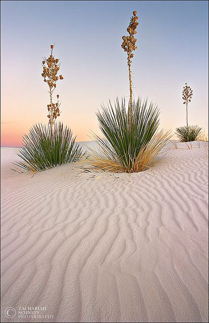 Yucca plants in the White Sands, New Mexico. Art Photography by Zack Schnepf.