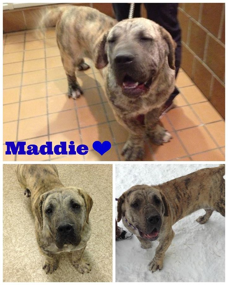Mastiff Amp Basset Hound Mix For The Clan Pinterest