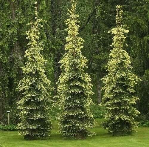 147 best images about columnar trees on pinterest for Tall evergreen trees for small gardens