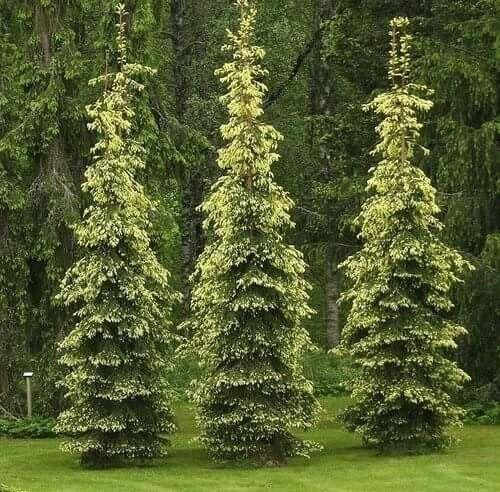 Picea abies 'Kultasurukusi'
