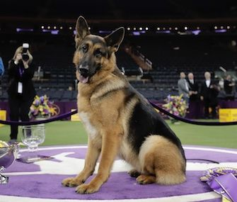 The 5-year-old German Shepherd, who's named after Adele's song, 'Rumor Has It,' took home Best in Show at the 141st Westminster Kennel Club Dog Show.  Rumor the German Shepherd Wins Westminster Dog Show 2017     http://petmidas.com/2017/02/15/rumor-the-german-shepherd-wins-westminster-dog-show-2017/
