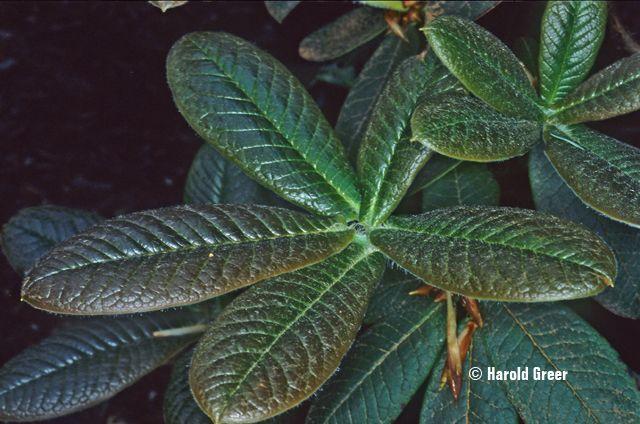 Rhododendron erosum