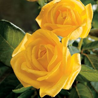 Our most fragrant yellow rose ever, with an irresistible, strong citrus scent that's simply out of this world!