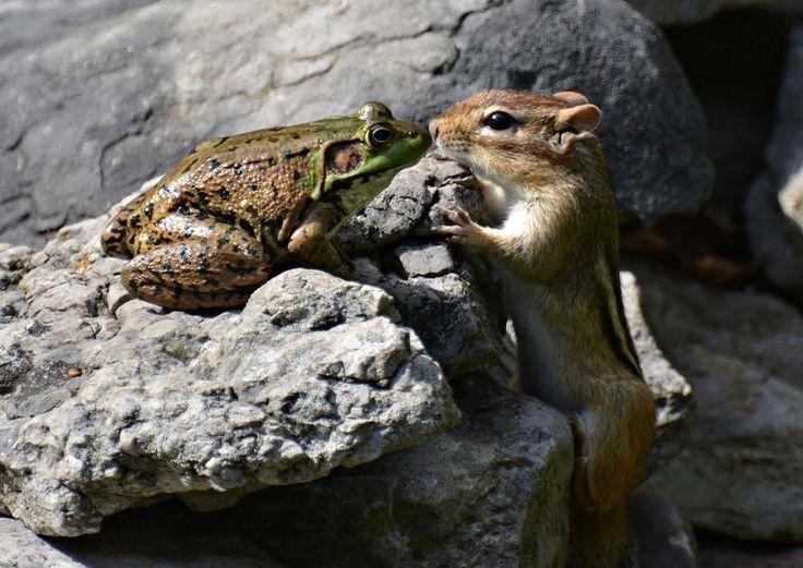 Лягушка и бурундук, Канада. Фото: Isabelle Marozzo.