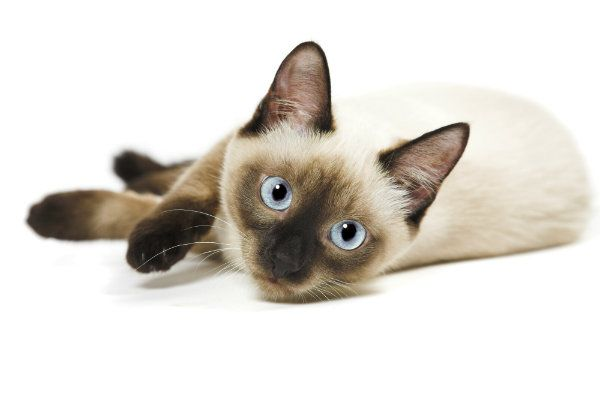 Do Your Kids Want A Cat Consider One Of These Five Lovable And