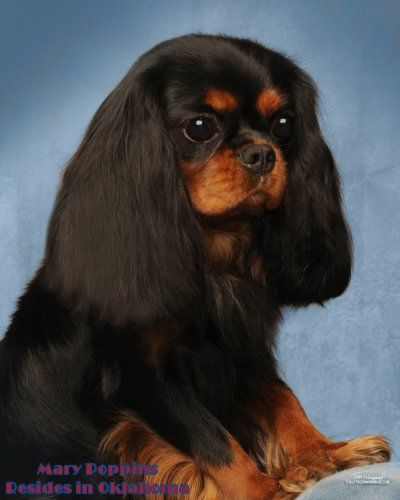 Cavalier King Charles Spaniel Puppies For Sale - AKC ...