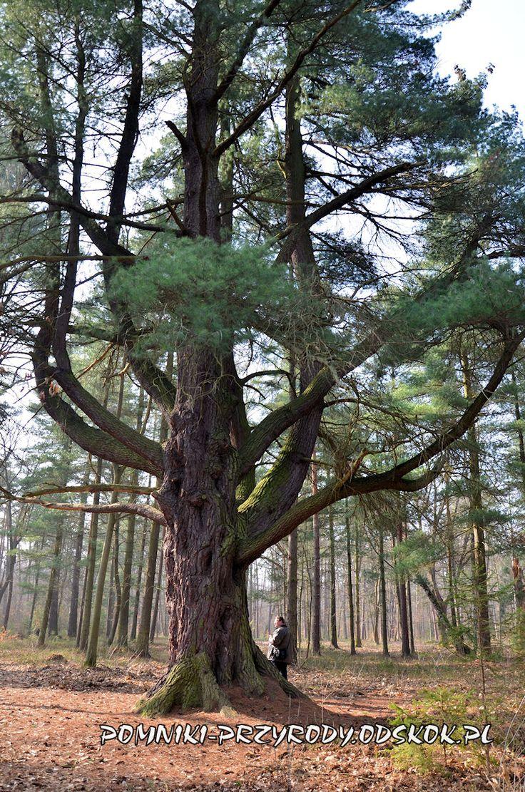 pinus strobus Pokój Tutejszy okaz – pomnik przyrody – mierzy w pierśnicy 520 cm, wysokość drzewa 20 m, wiek 227 lat