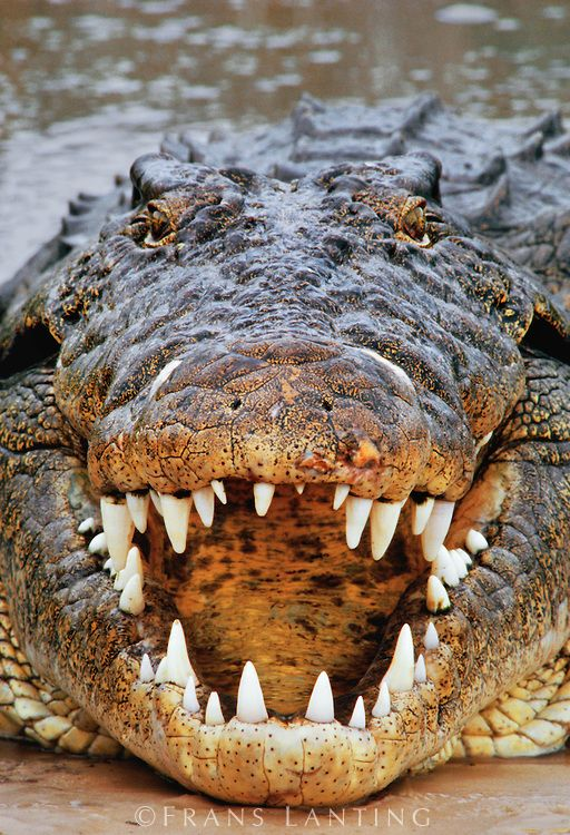 Nile crocodile, crocodylus niloticus, Okavango Delta, Botswana - photo Frans Lanting - In the Beginning, maybe God wasn't as into beauty yet...