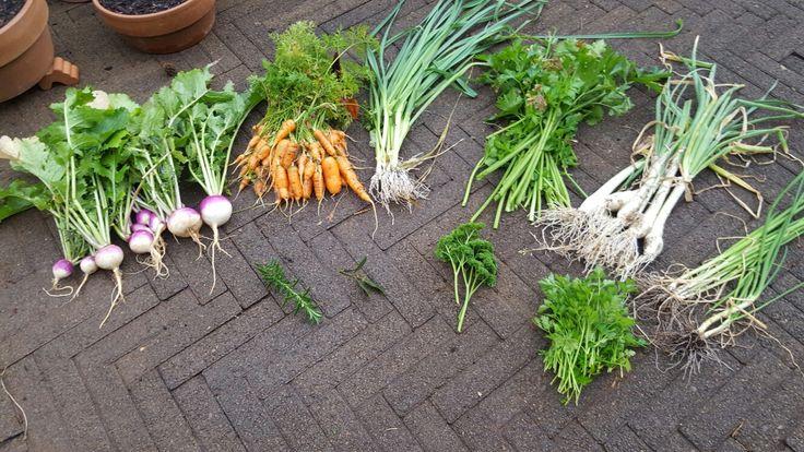 Potage harvest. Turnips, carrots, leeks, celery, onions, spring onion, bay leaf, rosemary, parsley.