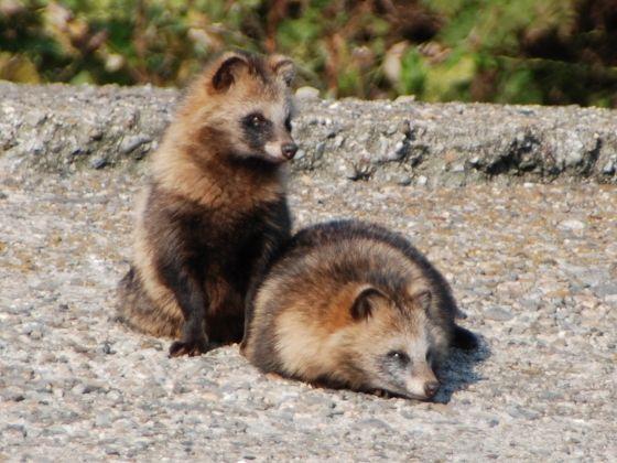 たぬき  a couple of racoon dog (tanuki)  ((So not really a dog but <3 ))
