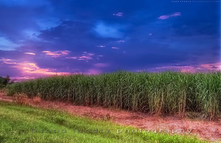 Louisiana Sugar Cane.....nothing like the smell of Sugar to start your day.  photo taken by Todd Landry