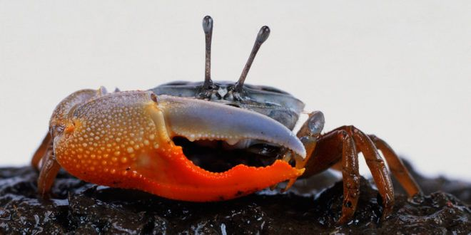 Fiddler Crabs Use Their Giant Claw For the Two Fs: Fightin And Flirtin #ITBusinessConsultants