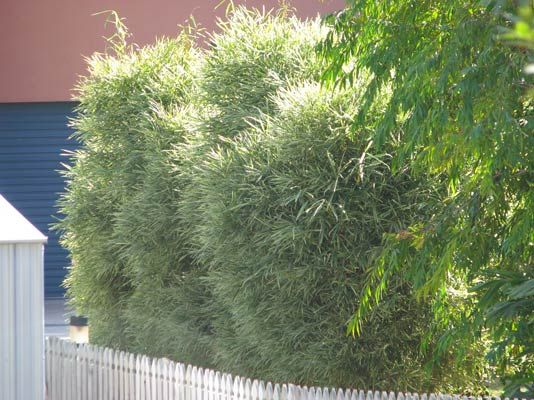 best plants for privacy fence | Variegated Malay Dwarf | Bamboo Plants for Sale and Non-invasive ...