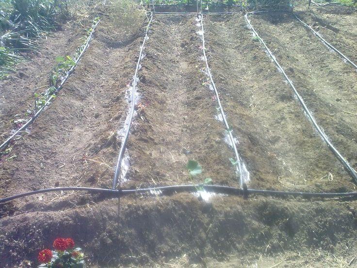 regando el huerto con goteros integrados en el tubo