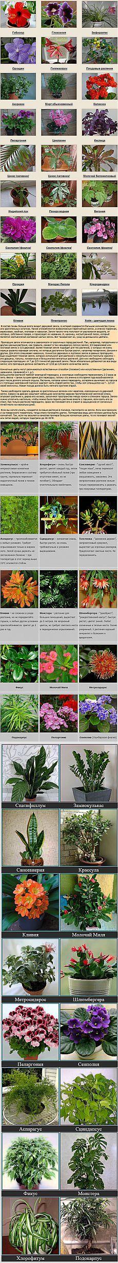 КОМНАТНЫЕ РАСТЕНИЯ ФОТО И НАЗВАНИЯ | Неприхотливые цветущие растения с…