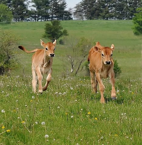 I could watch calves play all day long!