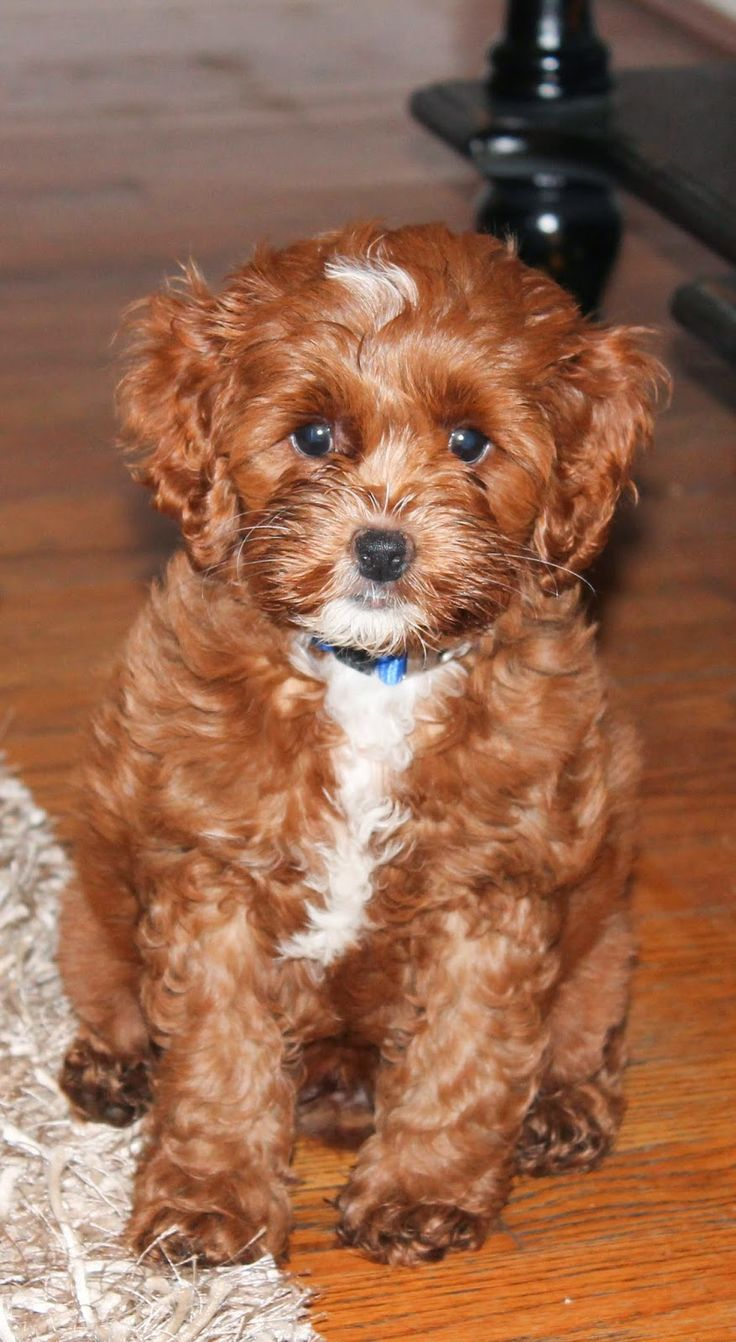 Red Cockapoo Puppy Louie Red Cockapoo Pinterest