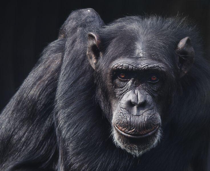 Rescued chimp at Monkey World, Dorset, UK