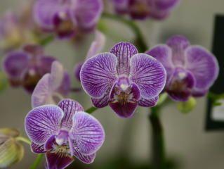 japan grand prix international orchid show / phalanopsis | Japan Grand Prix International Orchid Festival 2004 Phalaenopsis