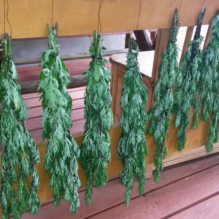 Drying of Common Wormwood:) #herbs #ziola #herballife #herbal #medicine #remedies #food #jedzenie