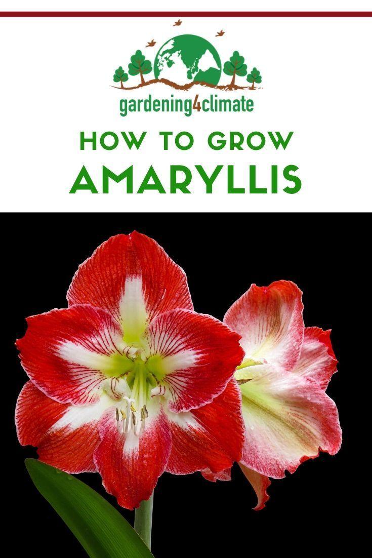 Amaryllis Care How To Care For Amaryllis Bulbs Amaryllis Bulbs Amaryllis Care Amaryllis Flowers