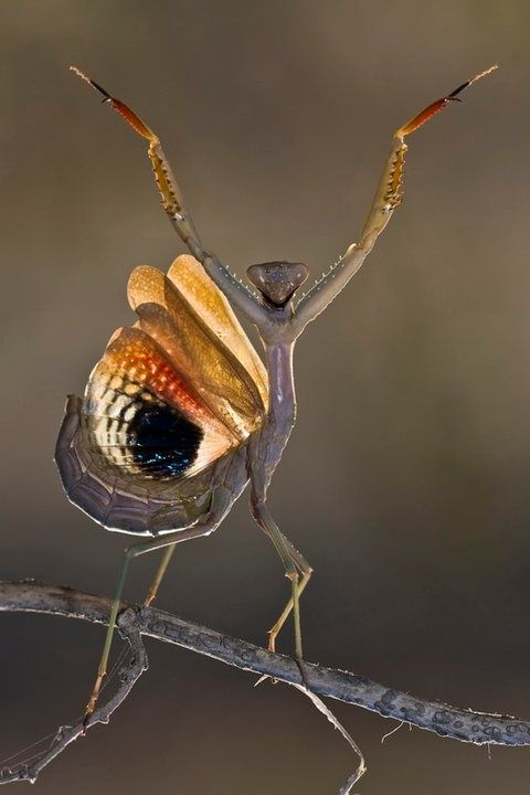 orchid mantis | Mantis
