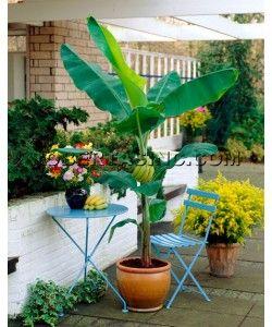 Fast Fruiting Gran Nain Banana Plant 2 pc.