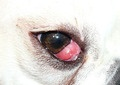 Common eye diseases of dogs, including Cherry Eye, Eyelash Problems, Entropion, Ectropion, Conjunctivitis and more. If your dog is pawing at, rubbing or shows signs of pain or irritation around the eyes, seek veterinary help as soon as possible, as eye conditions can change quickly. Also what to do if skunked