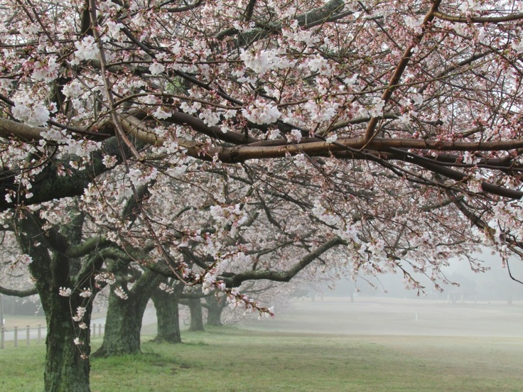 Memphis in Mist, April 5, 2013. Cherry trees on Cherry Road, Audubon Park. (Memphis, Tn. Photo taken by Suzanne Bagley)