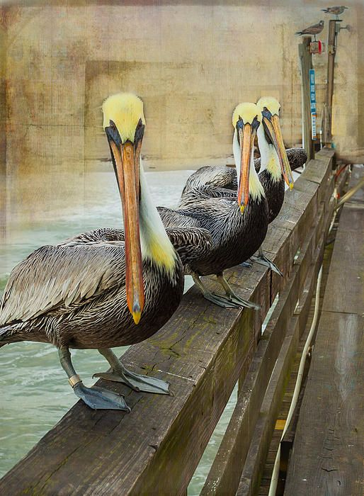 The Pelican Gang - photograph by Steven Reed. Fine art prints and posters for sale. #stevenreed #wildlifephotography #pelican
